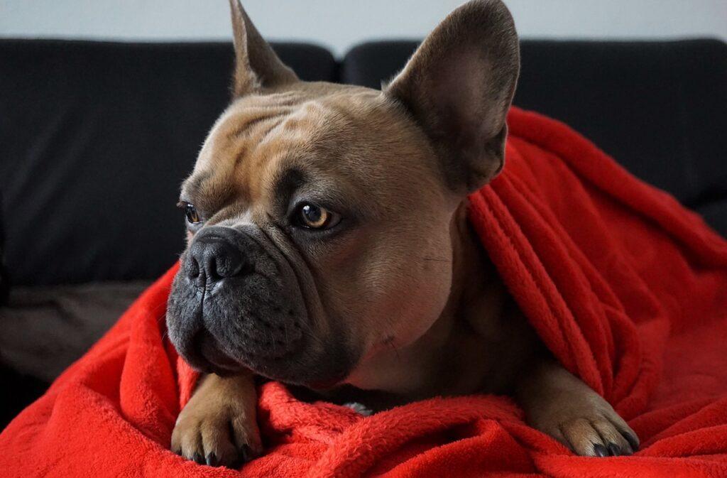 french bulldog seasonal allergies