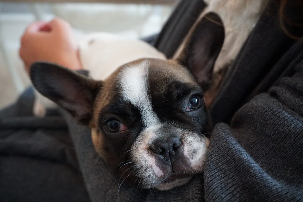 french bulldog yeast infection