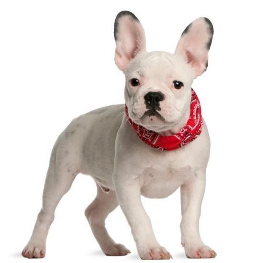 french bulldog ear mites
