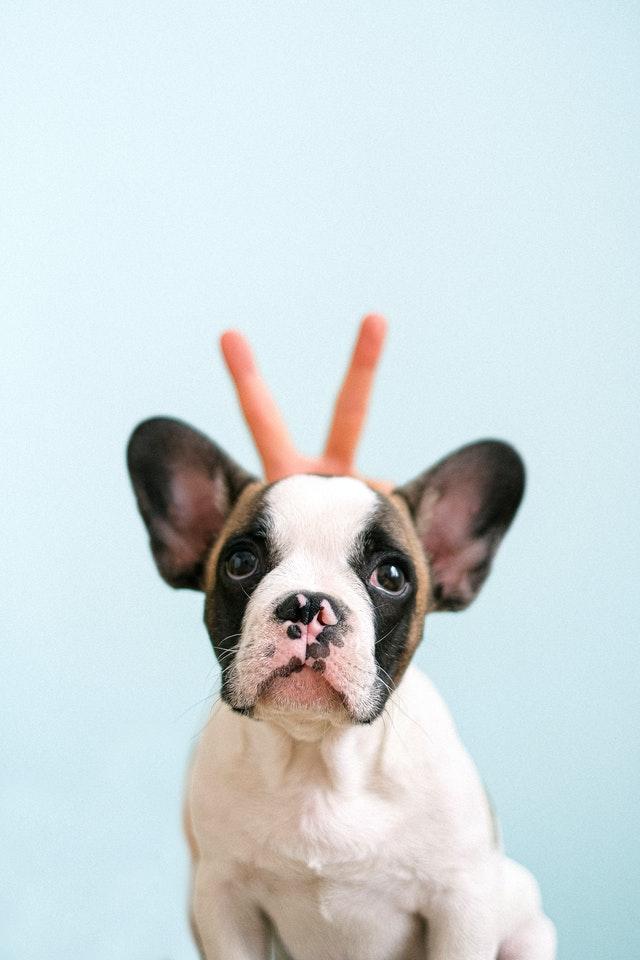 are french bulldogs stubborn