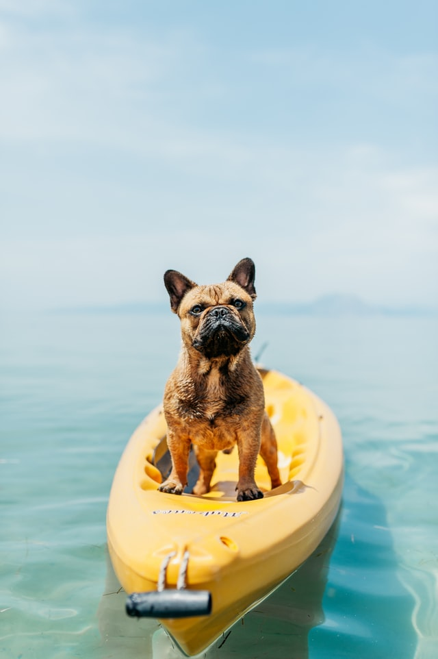 How To Take Care Of a French Bulldog Puppy?