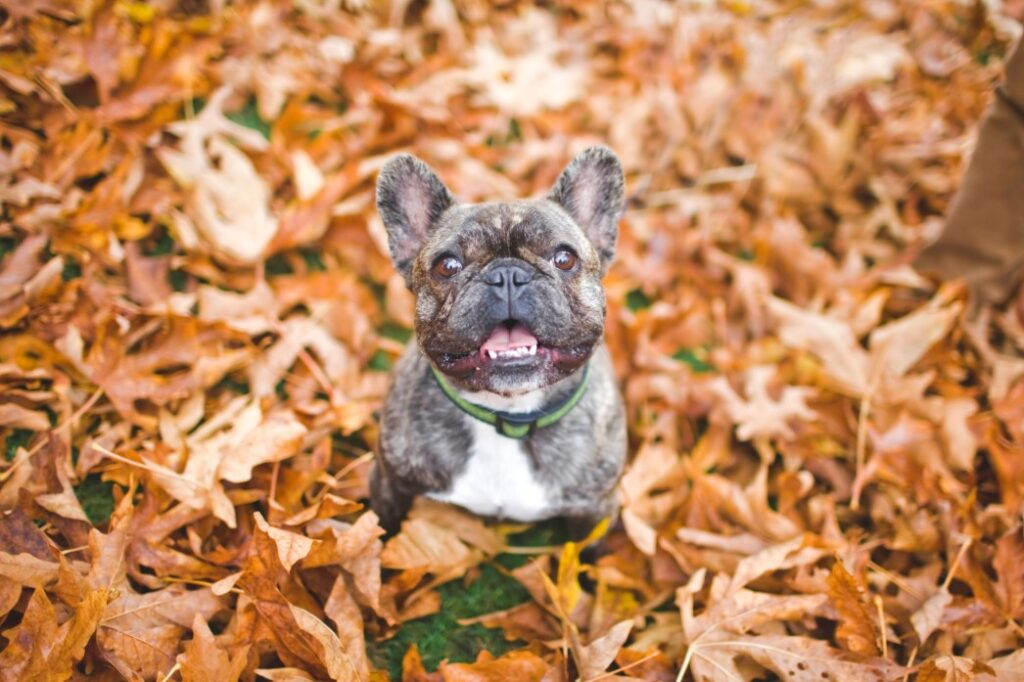 rinary tract infection in French bulldogs