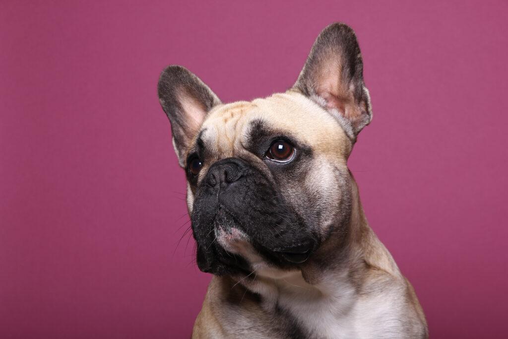 french bulldog seizures