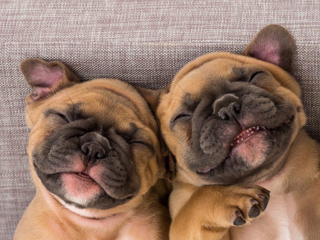 french bulldog's runny nose