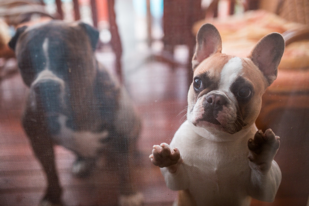 ringworm in french bulldogs