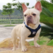 Top 6 No Pull French bulldog harnesses in 2020